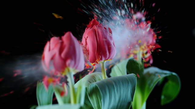 SLO MO LD line of red tulips exploding Slow motion medium locked down shot of a line of three red tulips in an upright position being hit and their blossoms explode. tulip stock videos & royalty-free footage
