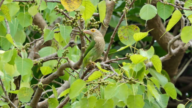 Lineated Barbet bird in tropical rain forest. Lineated Barbet bird (Megalaima lineata) on branch in tropical rain forest. animal body stock videos & royalty-free footage