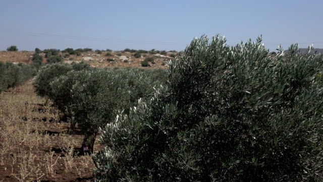 Lines of Tall Olive Trees in Barren Landscape in Israel video