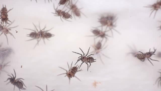 linothele fallax - spindel arachnid bildbanksvideor och videomaterial från bakom kulisserna