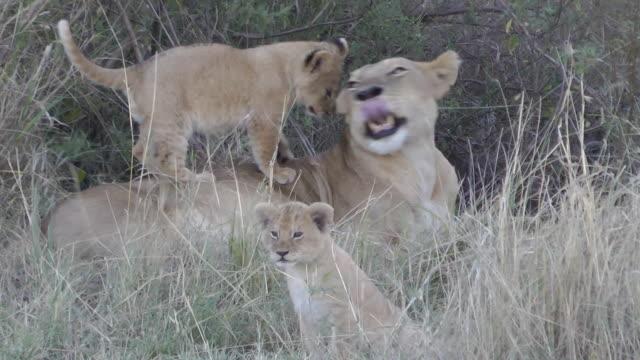 stockvideo's en b-roll-footage met lion and cubs - leeuwin