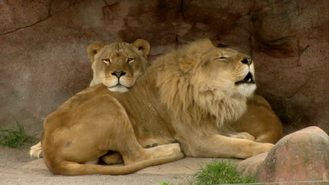 Lion and Lioness Cuddle / talk video