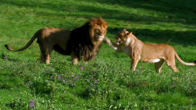 lion and lioness video