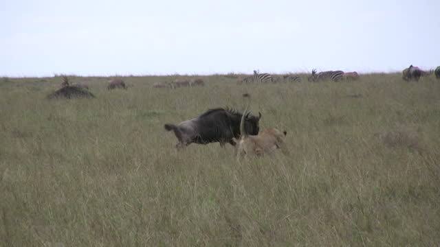 A lion chases a wildebeest during a successful hunt