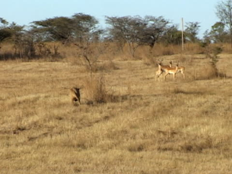 Lion chasing impala