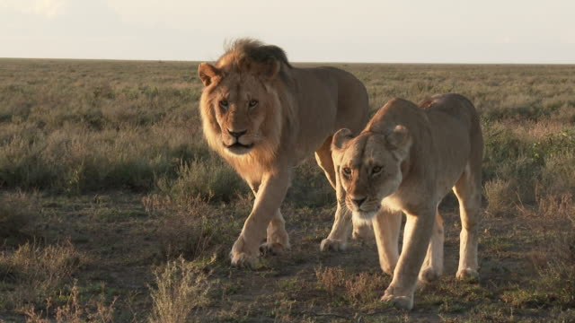 Lion (Panthera leo) couple in courtship