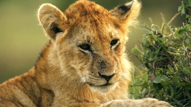 Lion cub grooming itself in Masai Mara