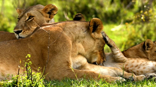 Lion cub grooming itself in Masai Mara