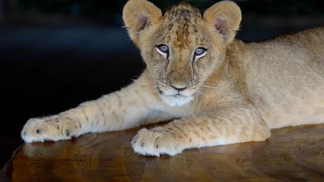 Lion Cub. video
