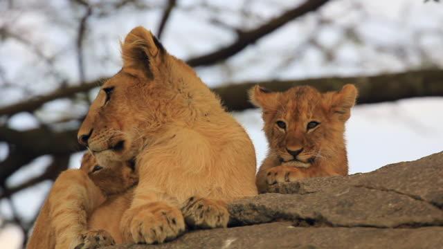 stockvideo's en b-roll-footage met lion cubs in serengeti park - leeuwin