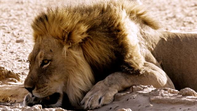 vidéos et rushes de lion à trou d'eau à boire - plan d'eau