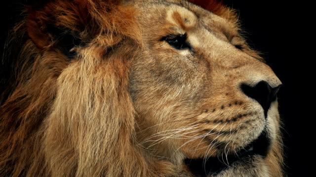 vidéos et rushes de lion face closeup avec fond sombre - tête d'un animal