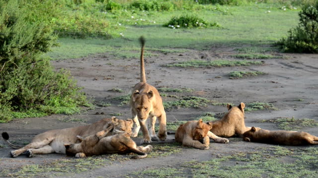 Lion Family Group Grooming video