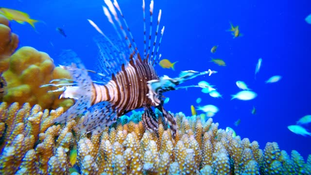 Lion Fish and Blue Green Fishes Underwater tropical blue-green chromis-fish (Chromis viridis). Underwater fish reef marine. Tropical colorful underwater seascape. Reef coral scene. Tropical blue water colorful fishes. Colorful tropical coral reefs aquatic organism stock videos & royalty-free footage
