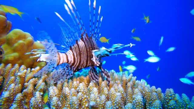 löwenfisch und blaugrüne fische - aquarium oder zoo stock-videos und b-roll-filmmaterial
