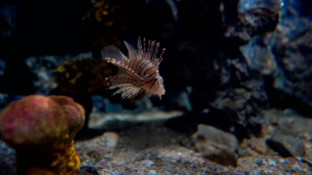 Lion fish diving underwater of sea
