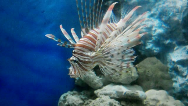 Lion Fish in the Sea