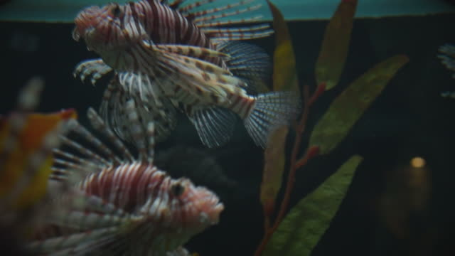 Lion Fish Moving Slowly Exhibiting its Dangerous Poisonous Spines. video