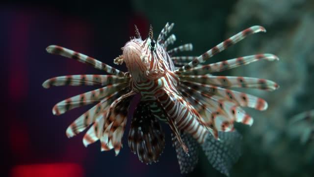 Lion fish swim along coral reefs in the aquarium.