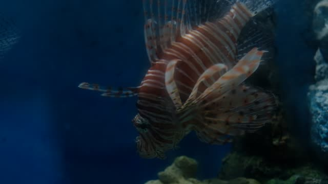 Lion fish swimming down together