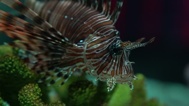 Lion fish swimming in colorful coral reefs.