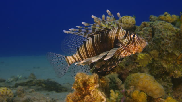 Lion Fish video