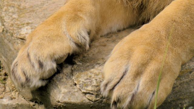 ライオンの頭と足 - ネコ科点の映像素材/bロール