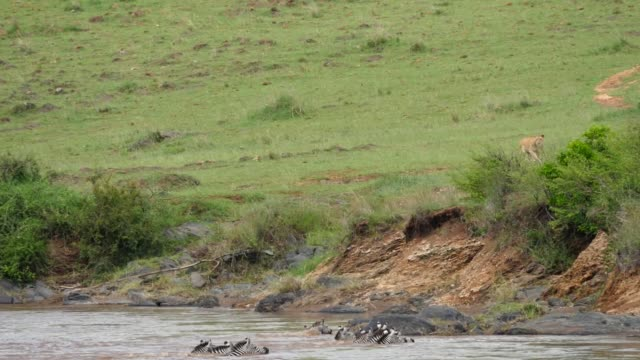 A lion hunts a herd of zebra as they cross a river A lion hunts a herd of zebra as they cross a river animal family stock videos & royalty-free footage
