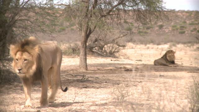 Lion in the Kalahari Gemsbok Park video