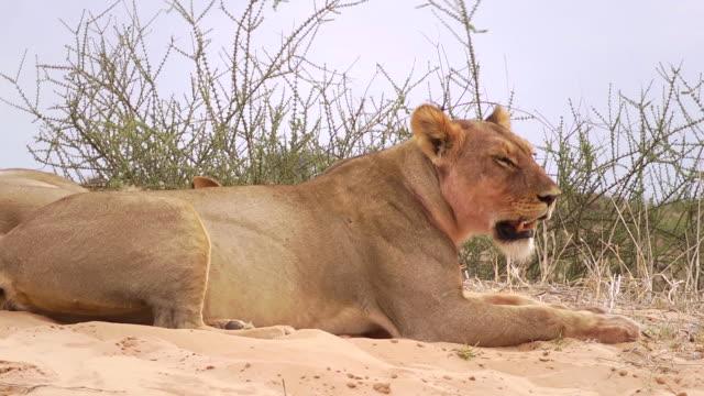 Lion in the Kalahari video