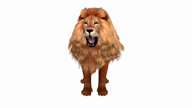 Lion isolated on white background, front view video