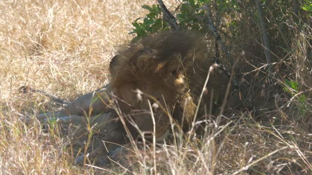 lion licking his paw - grzywa filmów i materiałów b-roll