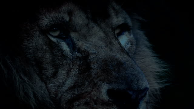 Lion Looking Around In The Evening video
