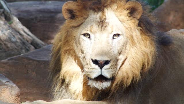Lion looking at camera