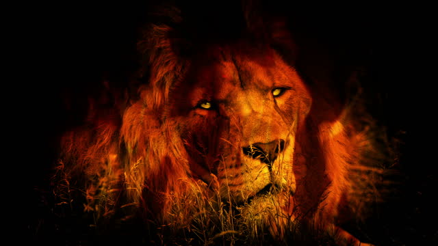 Lion Looks Up In Fire With Glowing Eyes