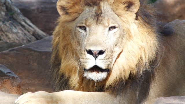 lion male looking at camera - grzywa filmów i materiałów b-roll