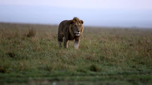 lion on the grasslands - soltanto un animale video stock e b–roll