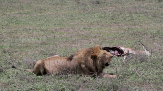 lion panting in front of dead antelope video