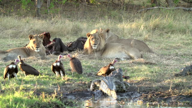 stockvideo's en b-roll-footage met lion pride at buffalo carcass with vultures and crocodile - afrikaanse vogel