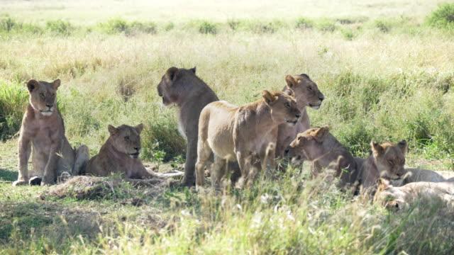 stockvideo's en b-roll-footage met leeuw trots rust aan serengeti np - opgenomen in de 4k 60p - leeuwin