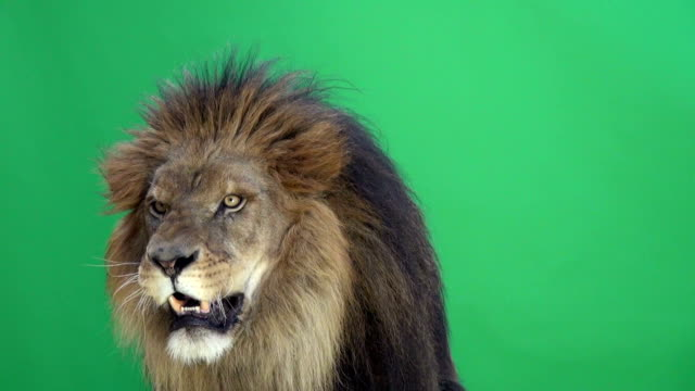 Lion roaring in front a of green key