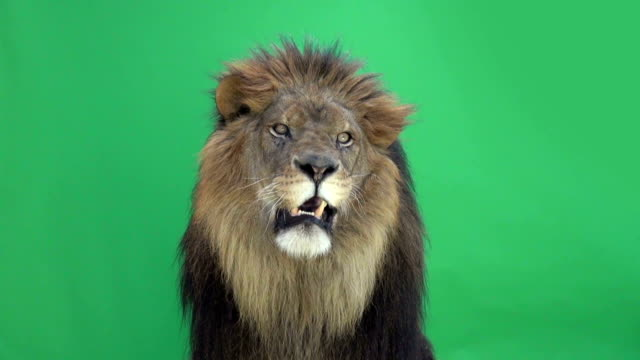 Lion roaring in front of a green key