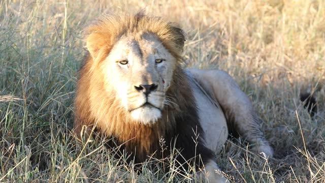vídeos de stock, filmes e b-roll de leão rugindo - felino