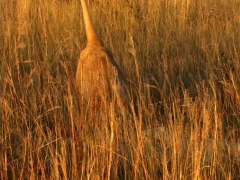 Lion corriendo hacia la cámara - vídeo