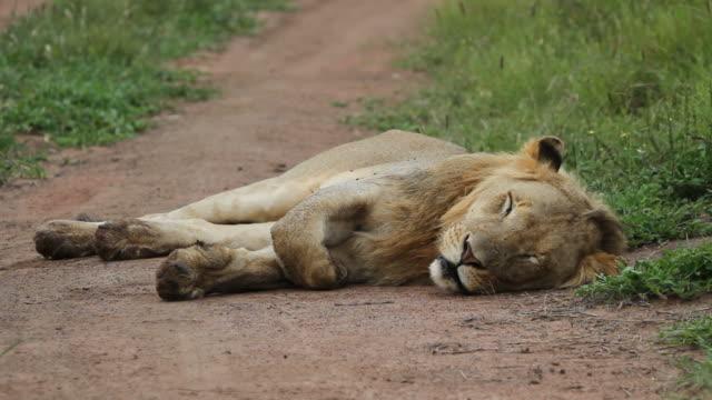 aslan toprak yolda yatıyor. - etçiller stok videoları ve detay görüntü çekimi