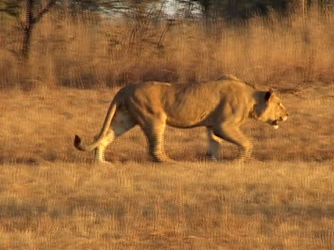 Lion stalking video