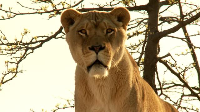 stockvideo's en b-roll-footage met lion stare straight ahead hd - leeuwin