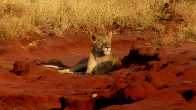 stockvideo's en b-roll-footage met lion staying cool - leeuwin
