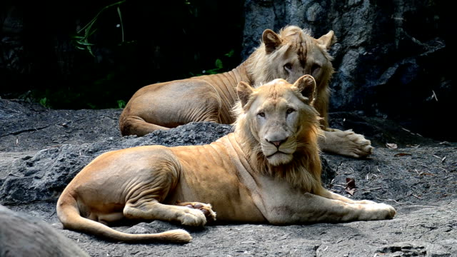 Lion the king of jungle animal in wildlife sanctuary video