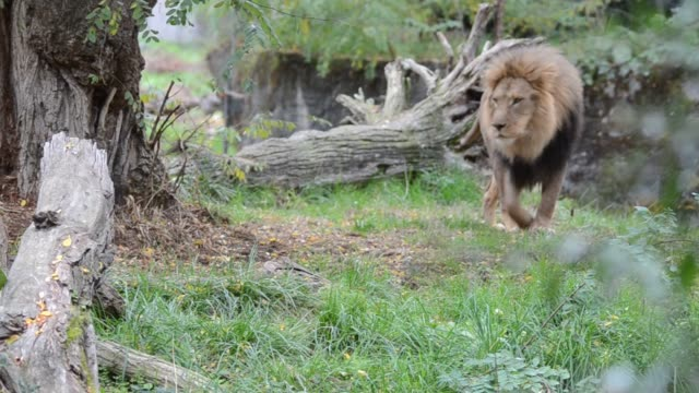 Lion the king of jungle video